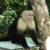 White faced monkeys are everywhere