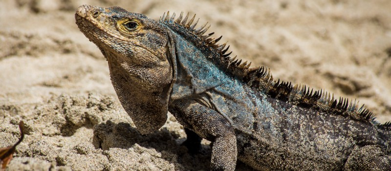 Iguana Defending the Beach