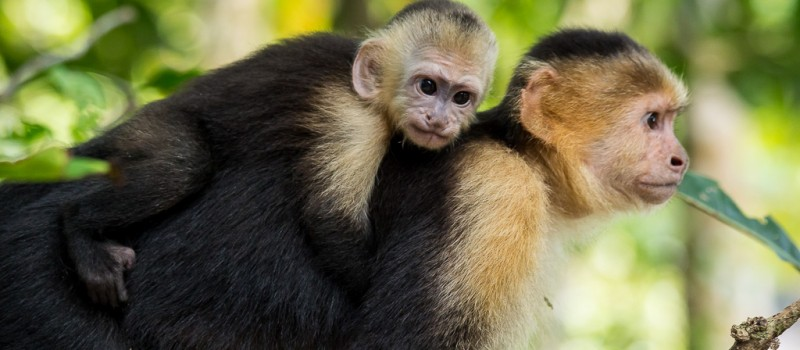 Mother Monkey with Baby on Her Back